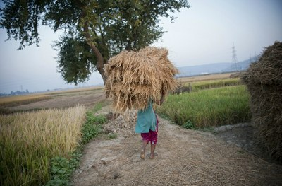 India's rice revolution – audio slideshow