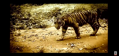 Last chance to save the Wild Tiger?