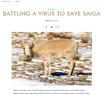 Battling a Virus to Save Saiga