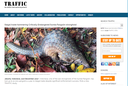 Illegal Trade Hammering Critically Endangered Sunda Pangolin Stronghold